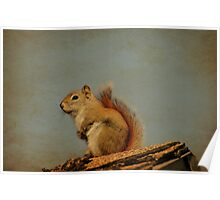 American red squirrel Poster