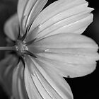 Black & White Flower by sarahncraig