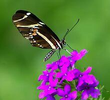 Zebra Longwing on Purple by Lisa G. Putman