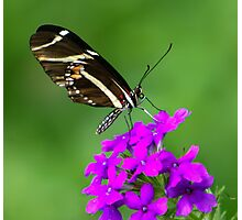 Zebra Longwing on Purple Photographic Print