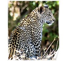 PATIENCE... The Leopard - panthera pardus - Luiperd Poster