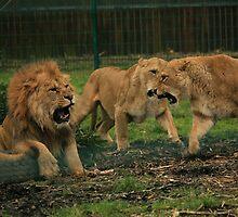 Lion War! by Franco De Luca Calce
