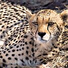 THE CHEETAH -Acinonyx jabatus by Magriet Meintjes
