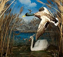 Natural environment diorama - a mallard and a swan in a pond  by Reinvention