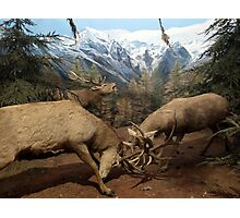 Natural environment diorama - Two deers fighting  Photographic Print