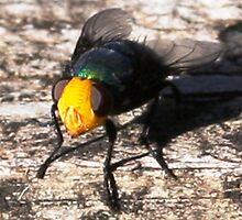 Snail Parasite Fly- Calliphora imperialis by Coloursofnature