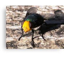 Snail Parasite Fly- Calliphora imperialis Canvas Print