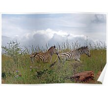 Zebra on the trot Poster