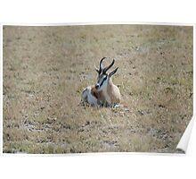 Lone springbok Poster