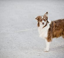 Australian Shepherd on a Windy Day by Susan E. Adams