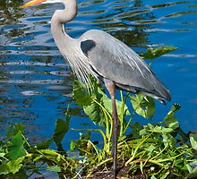 Great Blue Heron at Lake Harris by Delores Knowles