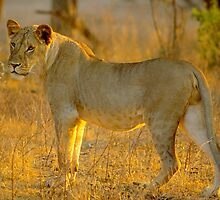 Young Lion Hunting by Nancy Barrett