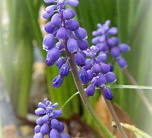 Grape Hyacinth Blooms by PicsbyJody