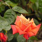 Wild Irish Rose by JenniferJW