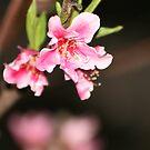 Peach Blossom by Cheyenne