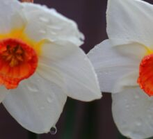 White Daffodils  Sticker