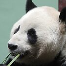 Pandamonium by dgscotland
