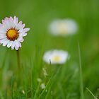 The Humble Daisy by relayer51