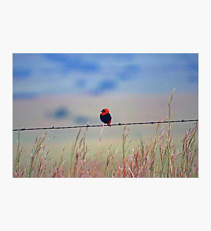 Red Bishop Photographic Print