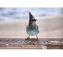 Steller's Jay Photographic Print