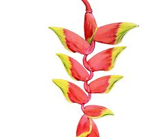 Heliconia Branch by mrana