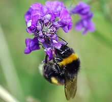 Bumblebee by Nigel Bangert