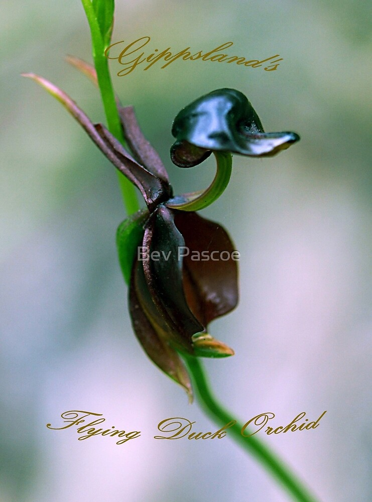 Flying Duck Orchid - Gippsland Australia by Bev Pascoe