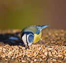 Blue Tit Feeding by Nigel Bangert
