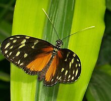 Heliconius Hecale by Brenda Sikes