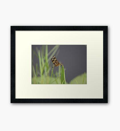 Striped Dragon Fly Framed Print
