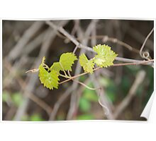 Vines in Spring Poster