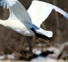 Trumpeter Swan in flight Sticker