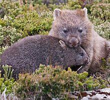 Wombats in the wild, Tasmania by tasadam