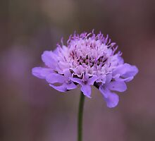 Purple Pincushion Flower by hummingbirds