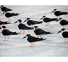 Black skimmers  Photographic Print