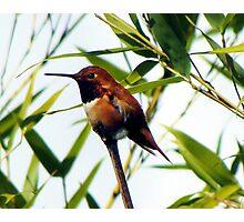 Rufous Hummingbirds Arrive on Schedule    Photographic Print