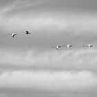 Tundra Swans Flying Above by Thomas Young