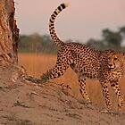 Feline beauty by Explorations Africa Dan MacKenzie