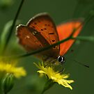 butterfly beauty by narabia