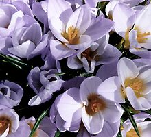 A Crocus for you! [ All About Flowers! ] by Jack McCabe
