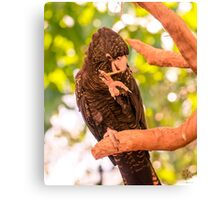 Black Cockatoo Snacking 1 Canvas Print