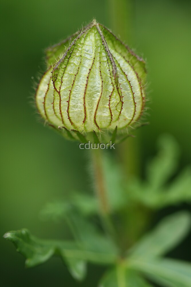 Hibiscus Pod by cdwork