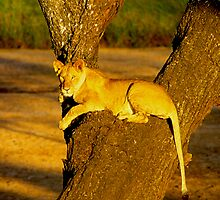 Tree-Climbing Lioness by Nancy Barrett