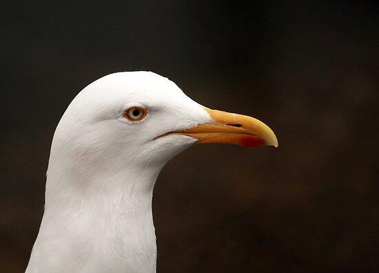 Seagull by Franco De Luca Calce