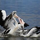 Straight from the pelicans mouth by myraj