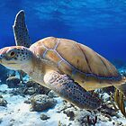 Green turtle by Carlos Villoch