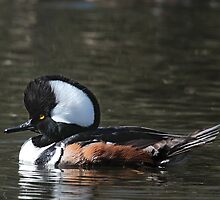 Hooded Merganser Drake by Carl Olsen