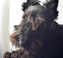 Scottie Dog: Paddy the 'Rescue' 2 by Mikhail31