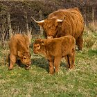 Highland Cow Family by M.S. Photography/Art