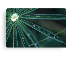 Dew on Lupine, Maine Canvas Print